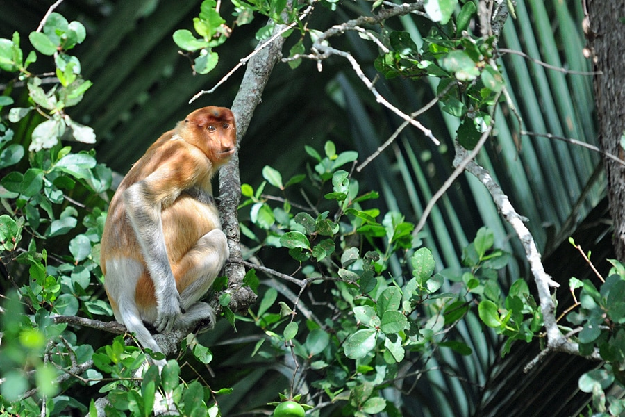 A female proboscis monkey eyes us up as she perches in the trees by the banks of the river