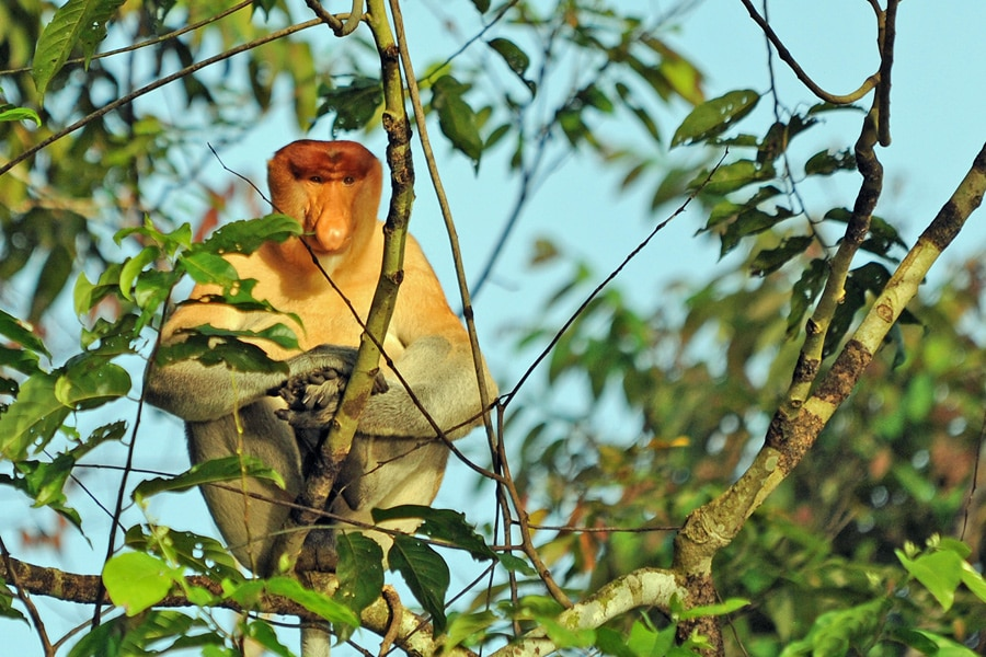 Male proboscis monkey sitting in the tree tops in the early morning sunshine, Sabah Borneo