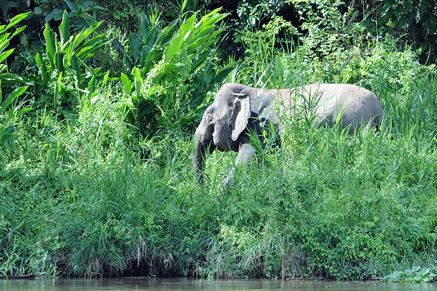 A herd of pygmy elephants wonders by us along gthe banks of the river, fferin g fleeting glimpses as they wonder therough the dense rainforest