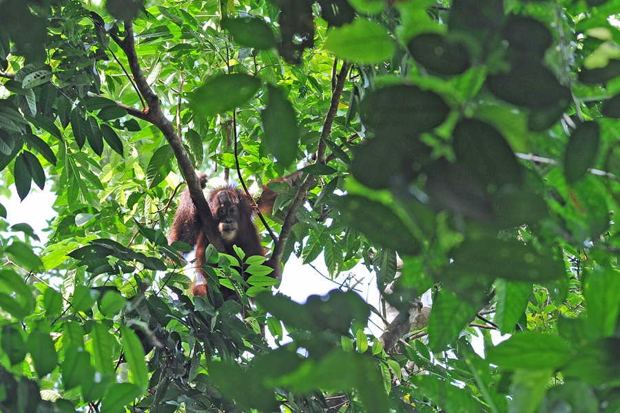 A glimpse of a wild orangutan in the grounds of Sukau Rainforest Lodge on the Kinabatangan River