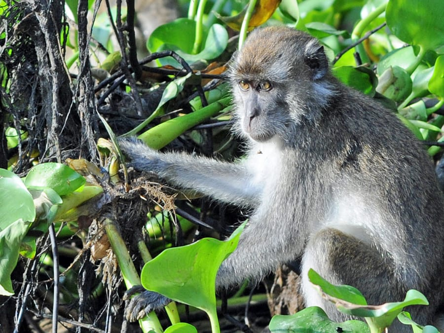 Monkey on the banks of the Kinabatangan River in Sabah, Borneo.