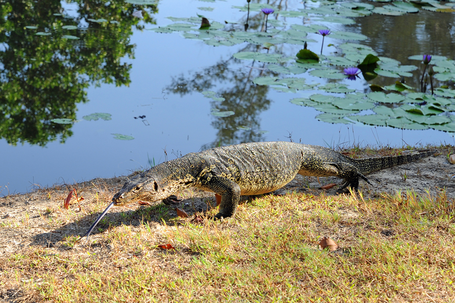 Monitor lizard in Sabah, Borneo