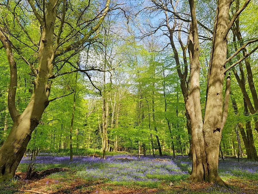 BLuebell wood in the South Downs