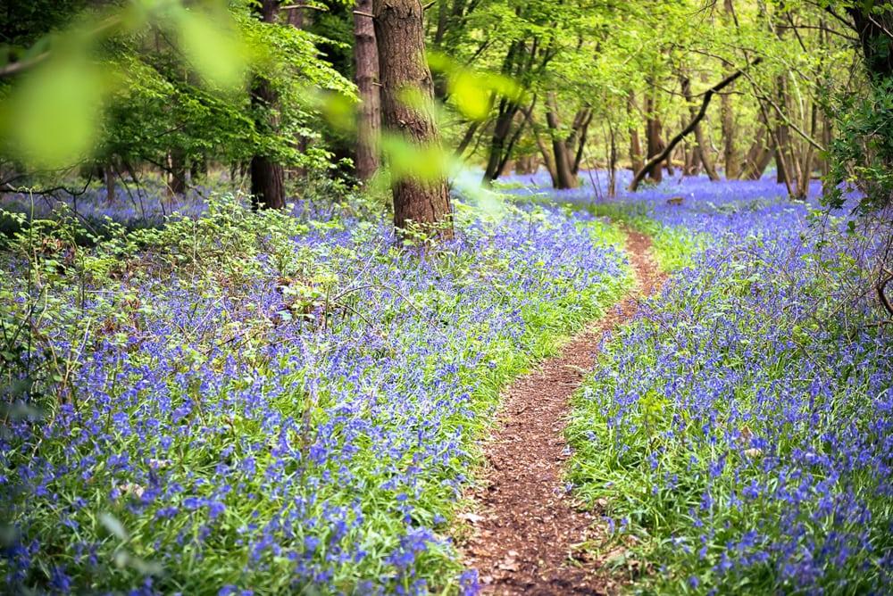 A cnarrow path through arpet of blue bluebells on the woodland floor