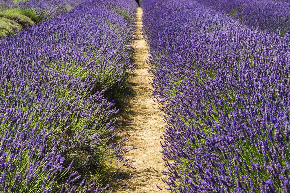 Mayfield Lavender Fields, one of England's most lovely flower feilds