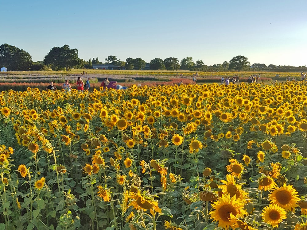 A field of sunflowers in one of Endland's most colourful flower fields
