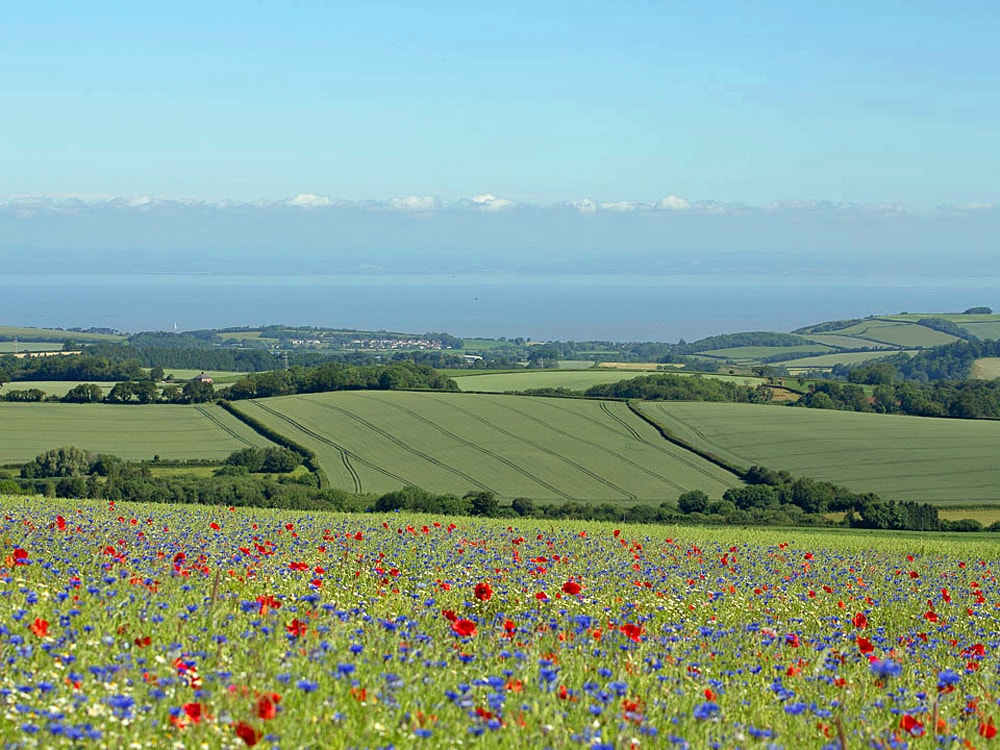 Wildflower meadow in Somerset