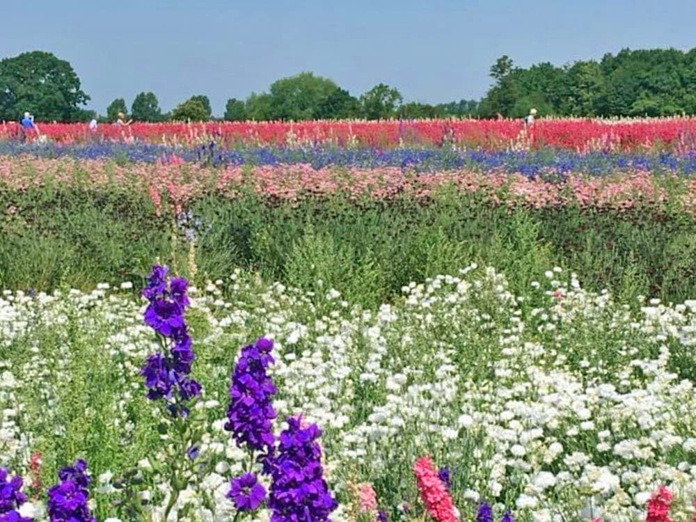 The Confetti Fields, one of England's most beautiful flower fields where you'll find row after row of delphiniums in purples, blues and pinks